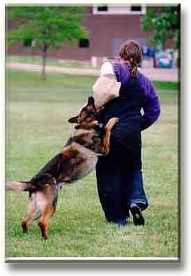 สุนัขได้งับของล่อ เมื่อเห่าผู้ล่อ (Helper)