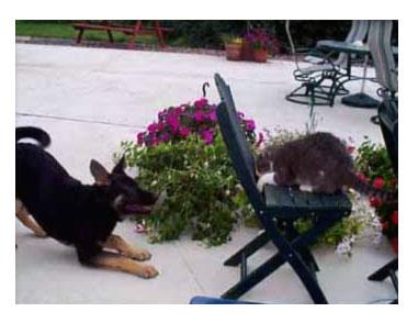 ลูกสุนัขเริ่มมั่นใจและเห่าใส่แมว