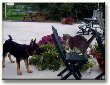 ลูกสุนัขถอยกลับไปตั้งหลัก เมื่อแมวหยุดแล้วทำขนพองขู่
